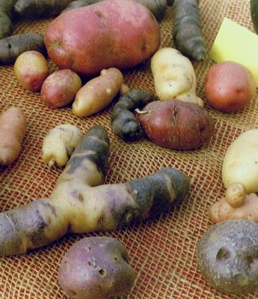 Solanum tuberosum Kartoffel