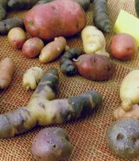 kartoffelsorte adretta