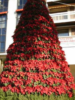 Weihnachtsstern Für Tannenbaum.Der Weihnachtsstern Poinsettia Poinsettie Euphorbia Pulcherrima