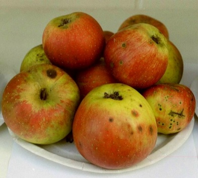 Apfel Kaiser Wilhelm
