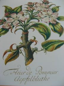 Apfelblüte botanische Zeichnung Foto Brandt
