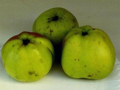 Apfel RIESENBOIKEN  Foto Brandt