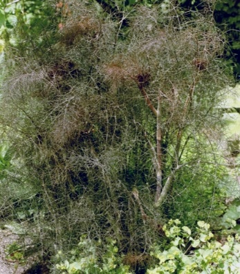 Heilpflanze Fenchel Foeniculum purpureum Foto Wolfgang Brandt