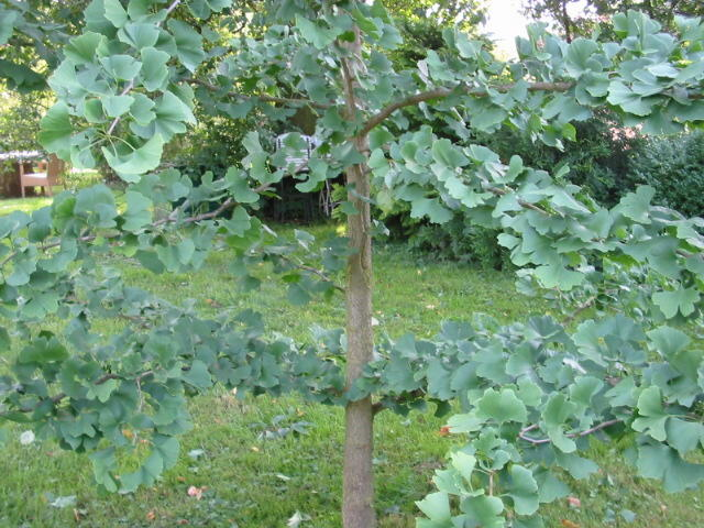 Heilpflanze Ginkgo Foto Maria Mail-Brandt