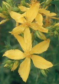 Heilpflanze Johanniskraut Hypericum perforatum