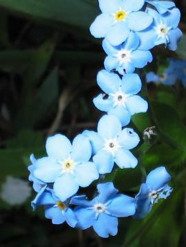 Myosotis Vergissmeinnicht Blauer Augentrost Wald