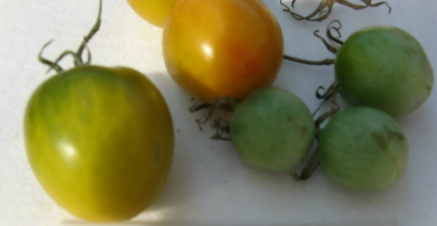 Tomate Green Grape