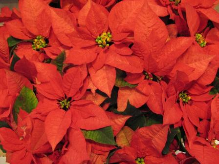 der weihnachtsstern poinsettia poinsettie euphorbia pulcherrima. Black Bedroom Furniture Sets. Home Design Ideas